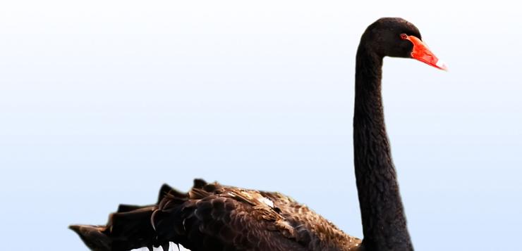 cisne-negro.jpg